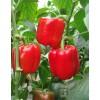供应奥宝红冠-甜椒种子