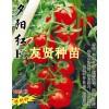 红色小番茄-夕阳红种子招商(蔬菜之乡-寿光)
