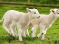 英国农民培育出六腿羊 已取健康证明将影响肉价