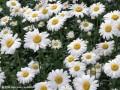 白菊花的采制方法