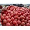 供应大田西红柿、批发精品西红柿、山西优质西红柿种植基地