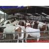 鑫大地养殖场供应小尾寒羊,波尔山羊,杜泊绵羊等优良的肉羊品种