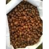 肾蕨种子供应