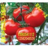 大量供应温室种植大红西红柿生产基地大量上市