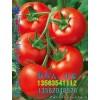 山东西红柿生产基地大量上市