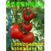 大量供应以色列大红果 番茄 厚皮 西红柿 生产基地大量上市
