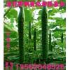 供应温室种植顶花带刺黄瓜