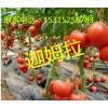 供应抗寒抗病毒番茄种子_迦姆拉