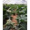 供应越夏耐高温高抗病毒西葫芦种子——暑王303