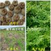 批发魔芋种子|魔芋种子价格|魔芋种子批发|二代魔芋种子