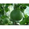 绿皮绿肉甜瓜--中原绿宝石5号