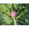 紫色西兰花种子, 紫色花菜种子