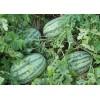 中原瑞龙:少籽西瓜种子 西瓜种子新品种 花皮西瓜 椭圆形西瓜