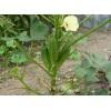 黄秋葵种子,红秋葵种子