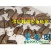 供应越南种石金钱龟龟苗