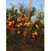 供应反季节果苗,柑橘,沃柑,茂谷柑,三华李,柠檬,红桔等苗木