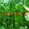 批发水果黄瓜种子 歌顿F1 寿光特色菜蔬菜种子公司