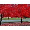 北美红枫、北美红枫幼苗