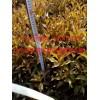 批发小苗;金叶复叶槭、紫叶稠李、金紫叶风箱果