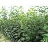 柿子树、幼苗供应