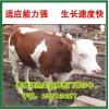 西门塔尔牛刚断奶的有多重多少钱一头