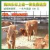 出售肉牛黄牛广西肉牛西门塔尔牛广西育肥牛犊