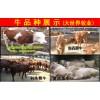 养牛养10头西门塔尔牛要多少钱