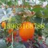 大量供应久红瑞洋香瓜
