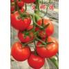 大红高抗TY西红柿种子