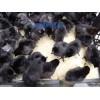 广州惠州野山鸡苗-惠阳珍珠鸡苗