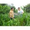 高产墨西哥玉米种子优级