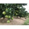 安江早香柚及柚子苗