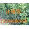 山西苗圃 3公分核桃树3公分桃树3公分苹果树3公分杏树
