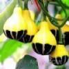 奇型玩具南瓜种子,金童与玉女南瓜,鸳鸯梨南瓜,桔瓜