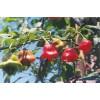 观赏辣椒种子灯笼椒种子 风铃椒种子