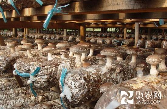 励志:大学生创业种香菇 年产值达千万-菌菇资讯-种植