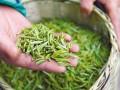 今年春茶价格有所下降 市场观望气氛加重