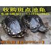 收购斑点池龟