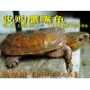 收购鹰嘴龟
