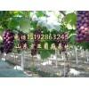 供应山东京亚葡萄 葡萄种植基地