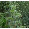 供应柿子苗,嫁接的柿子苗,柿子树