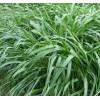 主营牧草种子,冬季多年生黑麦草种子批发价格
