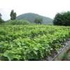供应葡萄苗,嫁接的葡萄苗,葡萄树