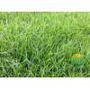 草地早熟禾