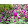 深圳千日红花种子批发供应千日红花卉种子,千日红花种价格实惠
