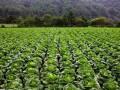 40年不遇大旱 韩国白菜卖出天价:泡菜都吃不起了