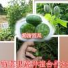拇指小西瓜种子