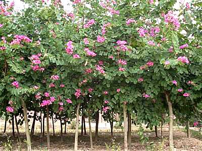 广西红花紫荆 3-5-7cm 地苗(嫁接)清场价  8万株