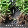 2016铁皮石斛种苗