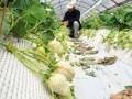 日本推出白色草莓 9颗草莓售价近1731元人民币
